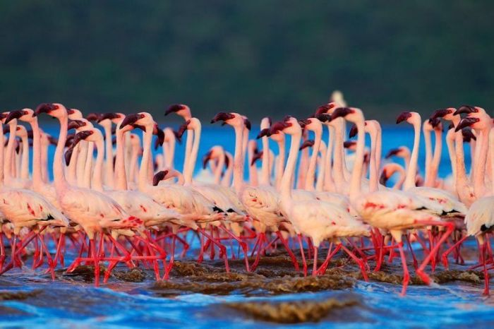 Необычное озеро, на котором собираются миллионы фламинго (26 фото)