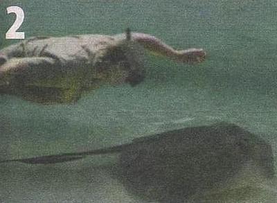 Одна из рыб напала на ведущего, когда тот находился над ней.