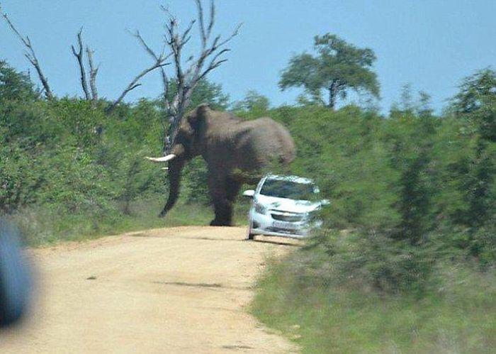 Слон, который ненавидит автомобили (11 фото)