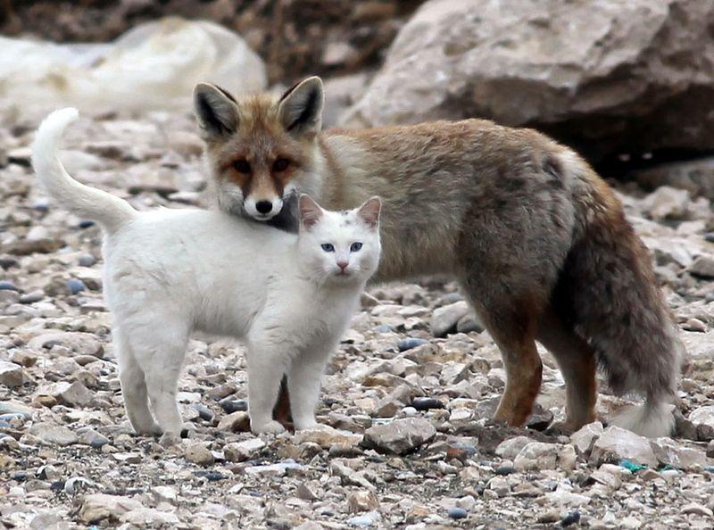 Кот с лисой друзья (9 фото)