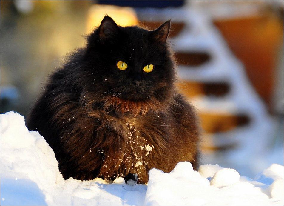 http://www.zapilili.ru/pics/1/29/cats_have_snow_02398_006.jpg