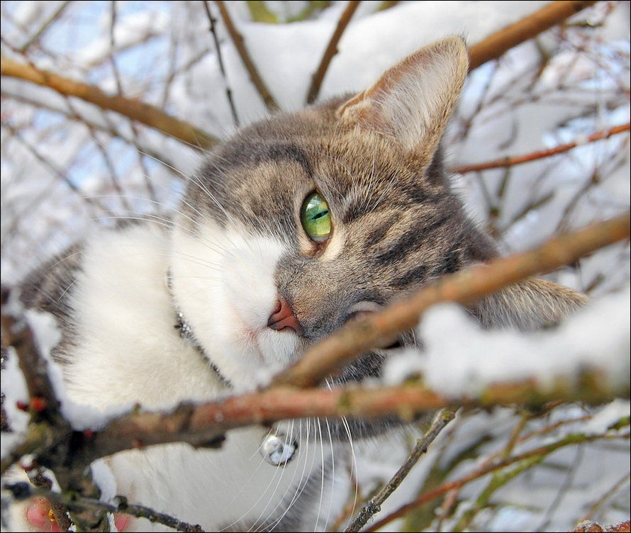 http://www.zapilili.ru/pics/1/29/cats_have_snow_02398_007.jpg