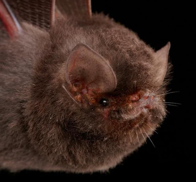 Летучие мыши во всей красе (50 фото)