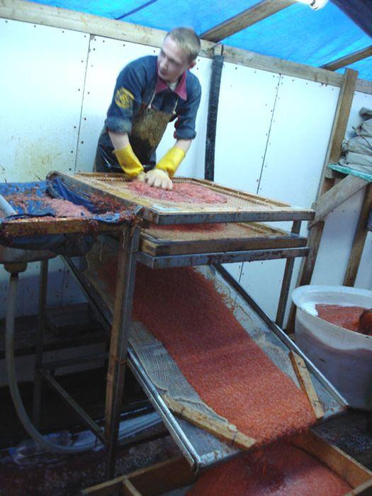 Как добывают красную икру (11 фото)