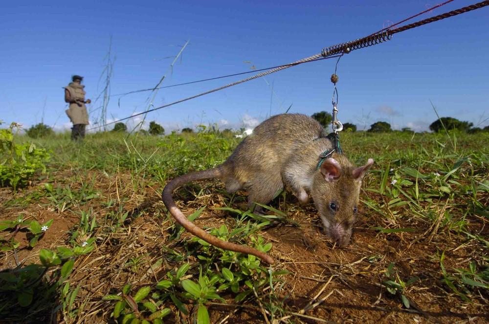 Крысы-саперы
