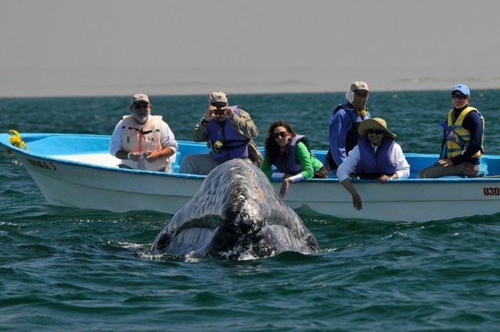 Дружелюбная встреча и поцелуи с китом (21 фото )