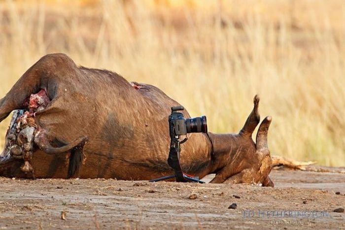 Львы любят фотографироваться (9 фото)