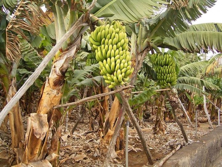 как растёт банан фото